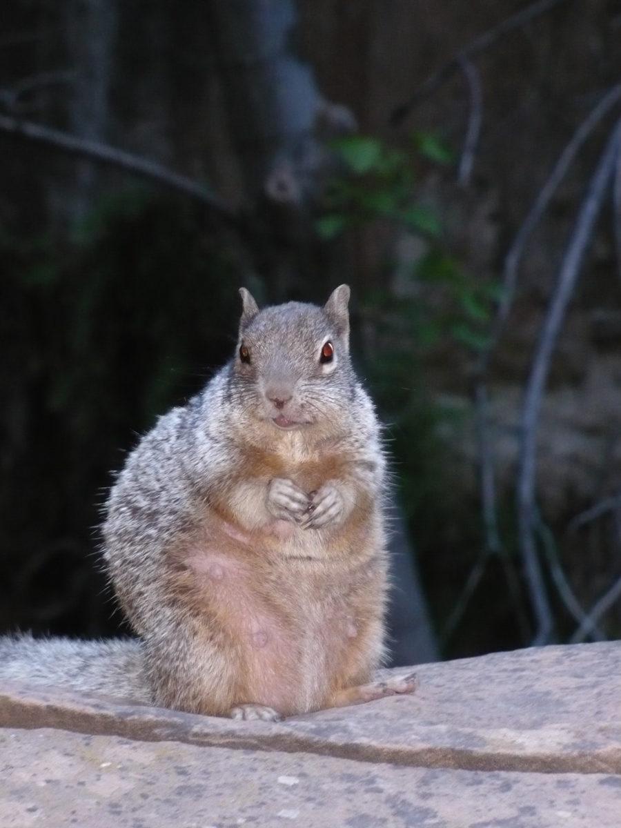 Écureuil américain - Destination Amériques