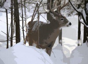 Canada - Saguenay - Hiver - Cerf